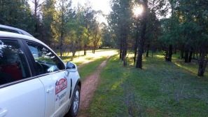 A dash through the native pines on Hillview.