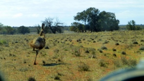 We missed this bloke - just. Lots of emus, kangaroos and goats on Coombah Station this trip.