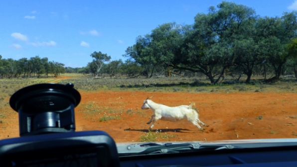 """Goats are cleverer than sheep and mostly just run away from the road. This one didn't... he tumbled like a gymnast after we clipped him, got up, did a """"tada"""" and ran away."""