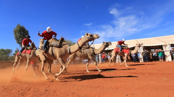 Racing camels at the Uluru Camel Cup