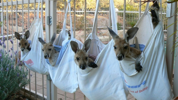 Orphaned joeys at the Kangaroo Sanctuary